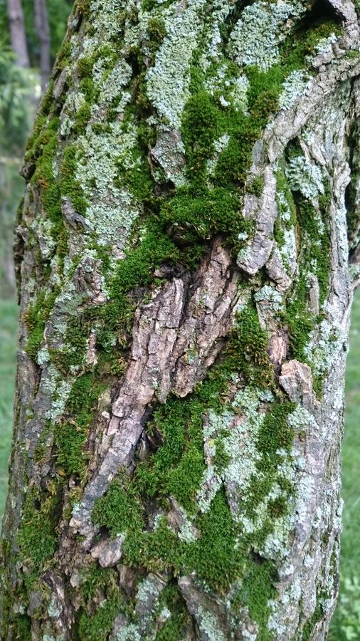 Grön mossa på texturerad bakgrund för trädskäll royaltyfria foton
