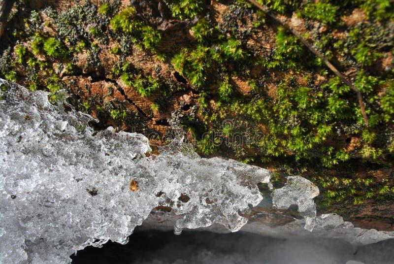 Grön mossa på trädskäll med smältande is, mjuk bakgrund arkivbilder