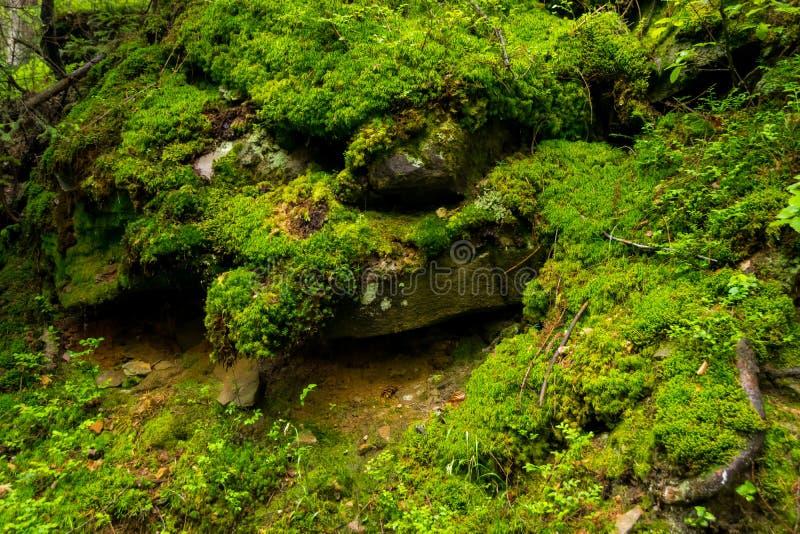Grön mossa, rotar och vaggar arkivbilder