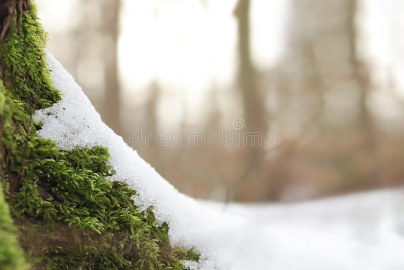 Grön mossa rotar på av ett träd som täckas delvist med snö på en ljus solig vinterdag fotografering för bildbyråer