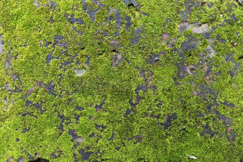 Grön mossa som växer på den gamla väggen royaltyfri bild