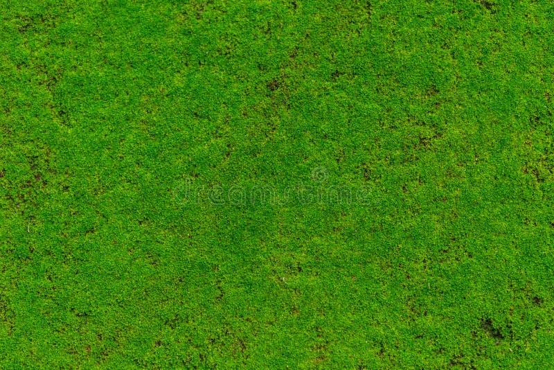 Grön mossa, våt sten för mossaväxträkning arkivbilder