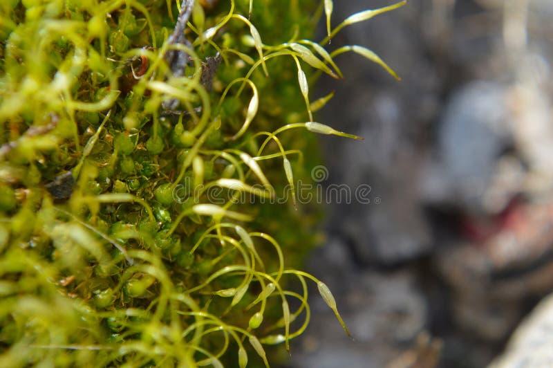 Grön mossamakro royaltyfria foton