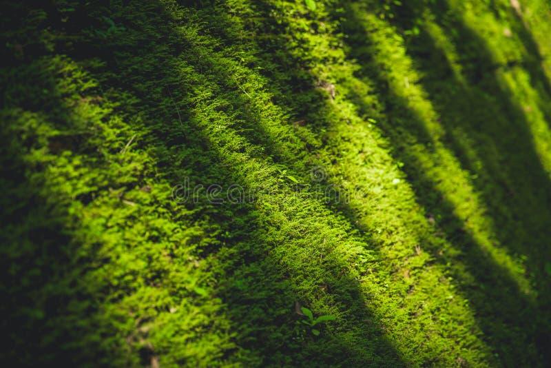 Grön mossanatur i djup skogräkning den gamla tegelstenen arkivfoto
