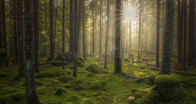 Grön mossig skog med härligt ljus från solen som skiner arkivbild