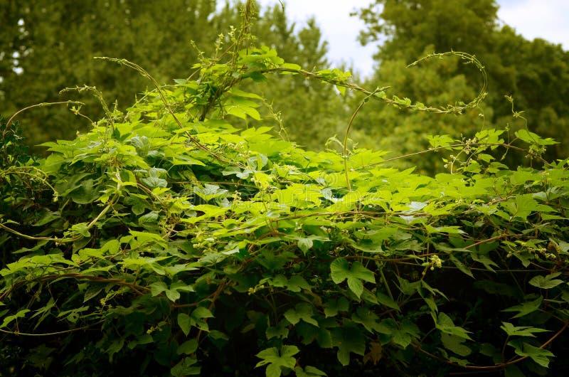 grön murgröna fotografering för bildbyråer
