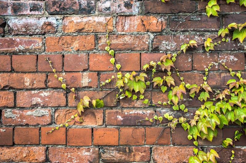 Grön murgrönaväxt som kryper över en gammal tegelstenvägg arkivfoto