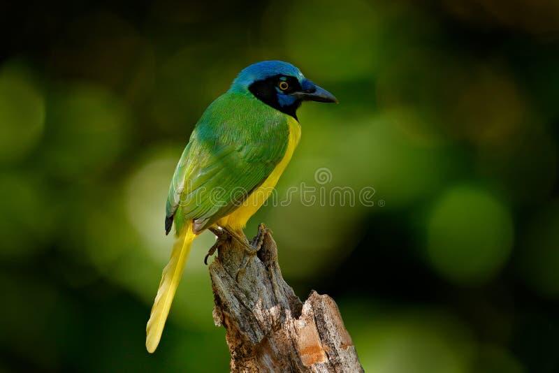 Grön nötskrika, Cyanocorax yncas, lös natur, Belize Härlig fågel från Sydamerika Birdwatching i Ecuador Den gula fågelnötskrikan  arkivbilder
