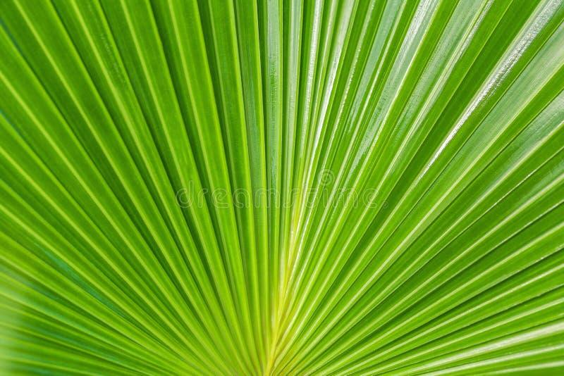 Grön naturbakgrund, texturerar det stora bladet av ett tropiskt gömma i handflatan fotografering för bildbyråer