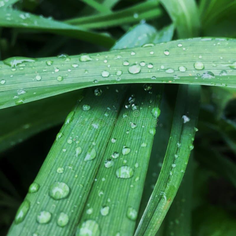 grön naturlig gräsbakgrund med vattendroppar fokus Makro arkivbild