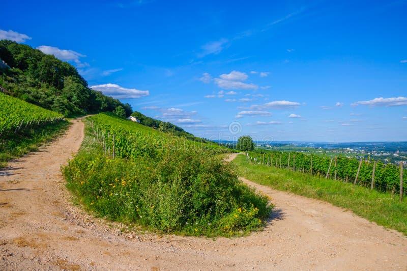 Grön ny vingård och U-sväng av vägen nära Ruedesheim, Rheinland-Pfalz, Tyskland arkivbilder