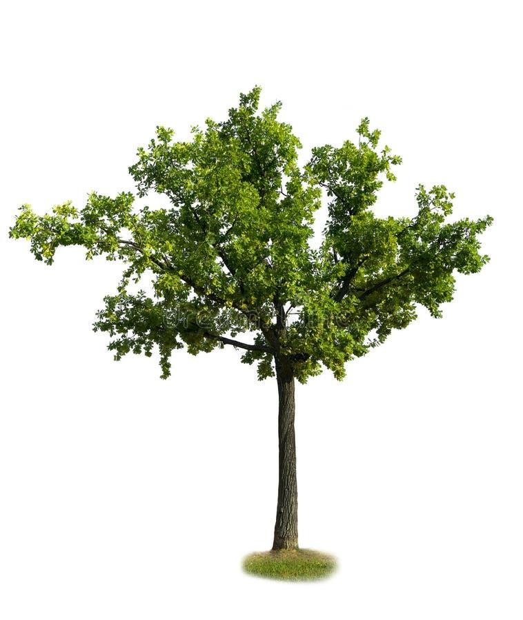 grön oak royaltyfri bild