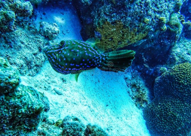 Grön och blå filefishsimning i havet royaltyfria foton