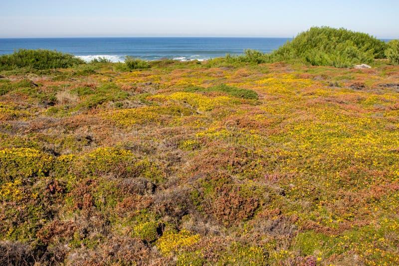 Grön och gul mossa och gräs på kusten för Atlantic Ocean kustsommar med att plaska vågor på horisont royaltyfria bilder
