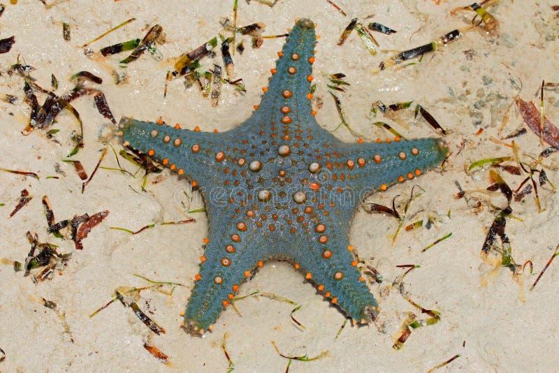 Grön och orange sjöstjärna arkivfoto