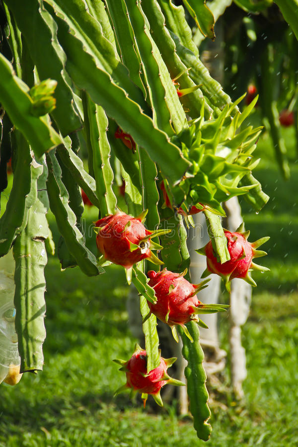 Grön och röd drakefrukt arkivfoto