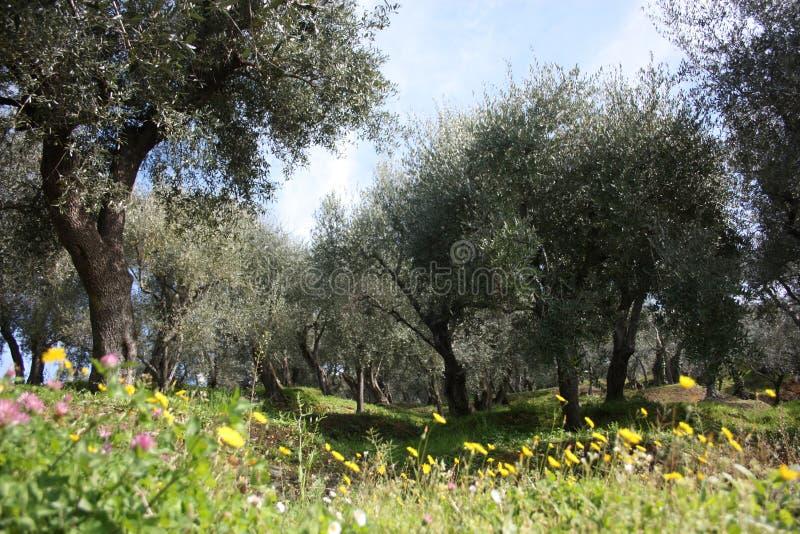 Grön och stor olivgrön dunge mycket av olivträd, växter som är fulla av sidor, och frukter Ankomsten av fjädrar arkivbild