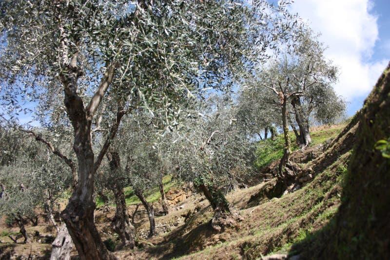 Grön och stor olivgrön dunge mycket av olivträd, växter som är fulla av sidor, och frukter Ankomsten av fjädrar royaltyfri bild