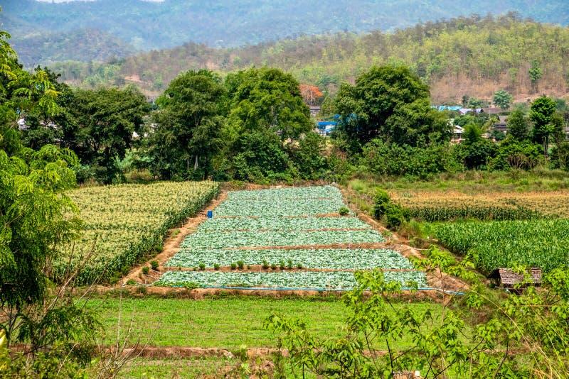 Grön odlingsmark, konserverar fältet, grönsakkoloni, i bygden av Chiang Mai, Thailand royaltyfri foto