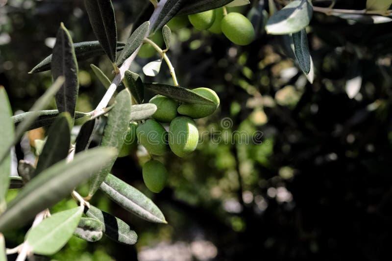 grön olive tree royaltyfri foto
