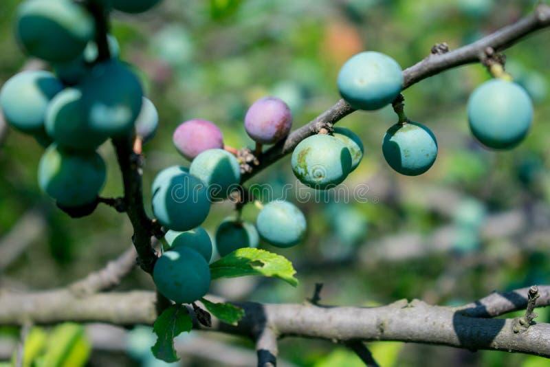 Grön omogen frukt Gr?n garnering royaltyfria foton