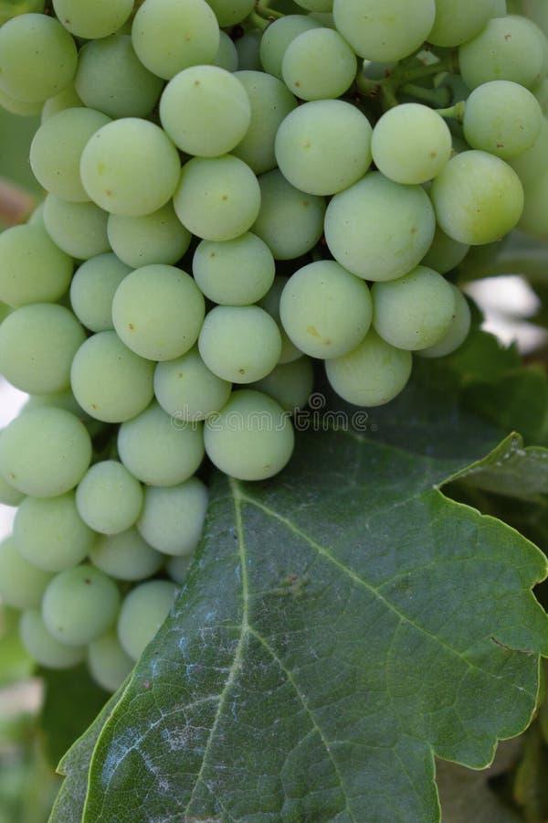 Grön omogen kompakt grupp av druvor med bladet Selektiv fokus Åkerbruk räkning royaltyfria foton