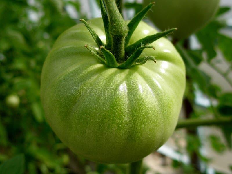 Grön omogen tomat royaltyfri fotografi
