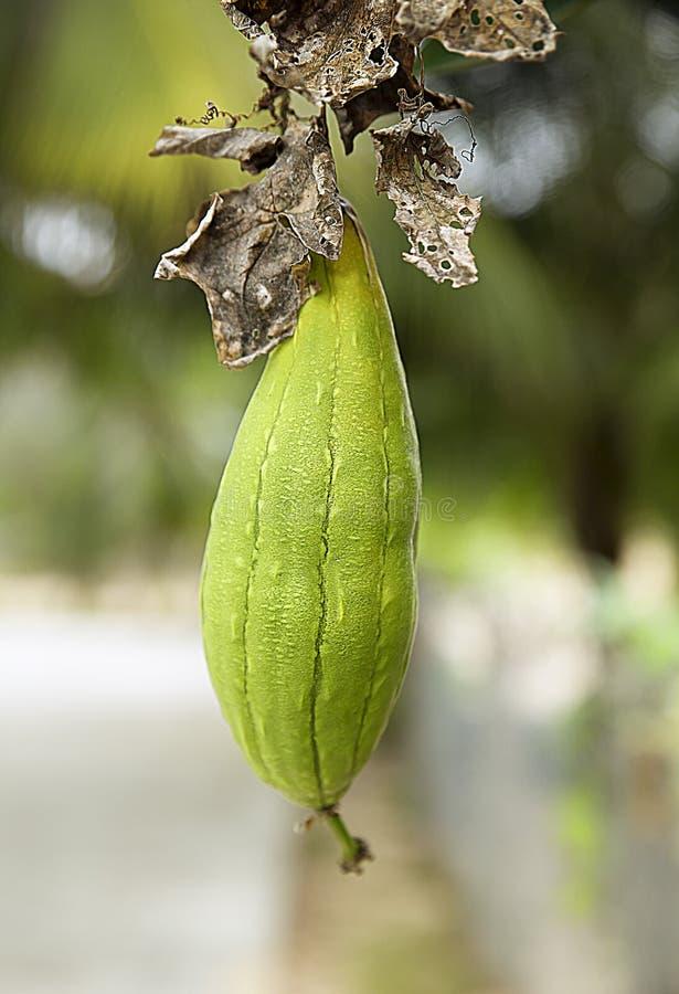Grön omogen zucchini arkivfoto