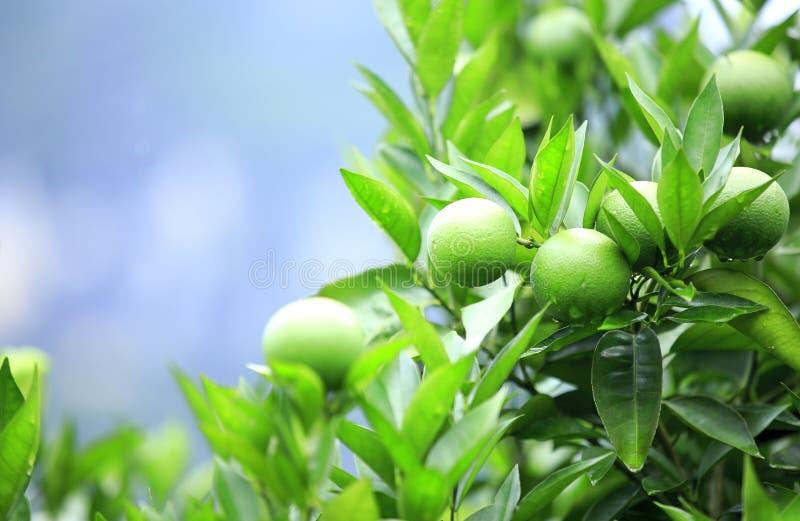 Grön orange frukt arkivfoto