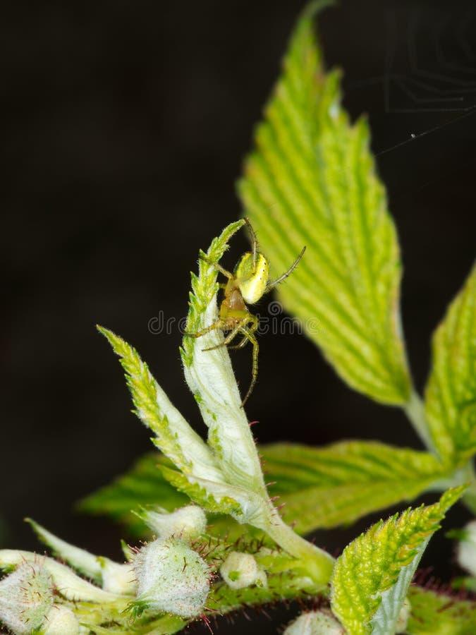 Grön Orb-vävare spindel i hallonväxten - Araniella arkivbild