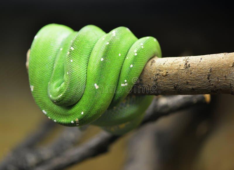 Grön orm. royaltyfri bild