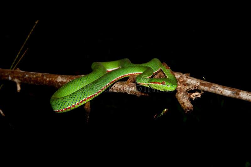 Grön orm (den Chrysopelea ornataen) fotografering för bildbyråer