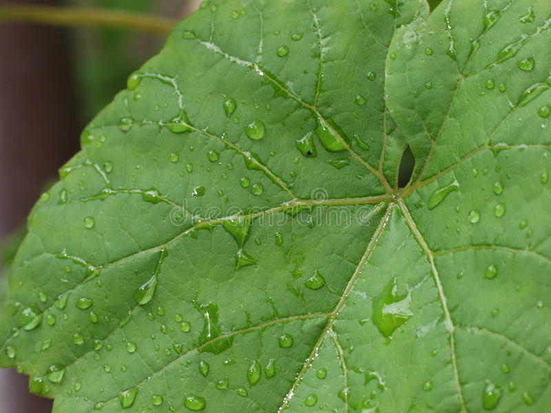 Grön ormbunksbladdruva - regndroppe arkivfoto