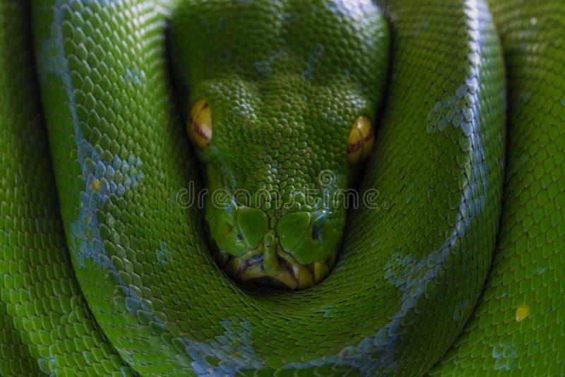 grön ormtree royaltyfri fotografi