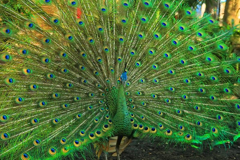 Grön påfågel med en härlig svans royaltyfri foto