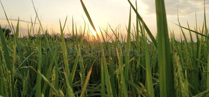 grön paddy royaltyfri foto