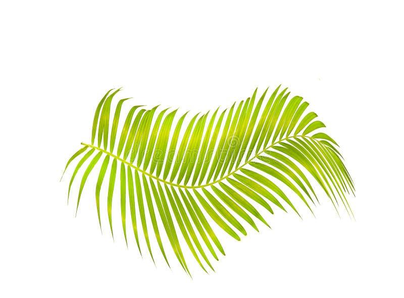 Grön palmblad som isoleras på vit bakgrund med den snabba banan fotografering för bildbyråer
