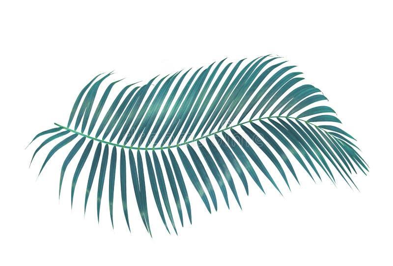 Grön palmblad som isoleras på vit bakgrund med den snabba banan royaltyfria bilder