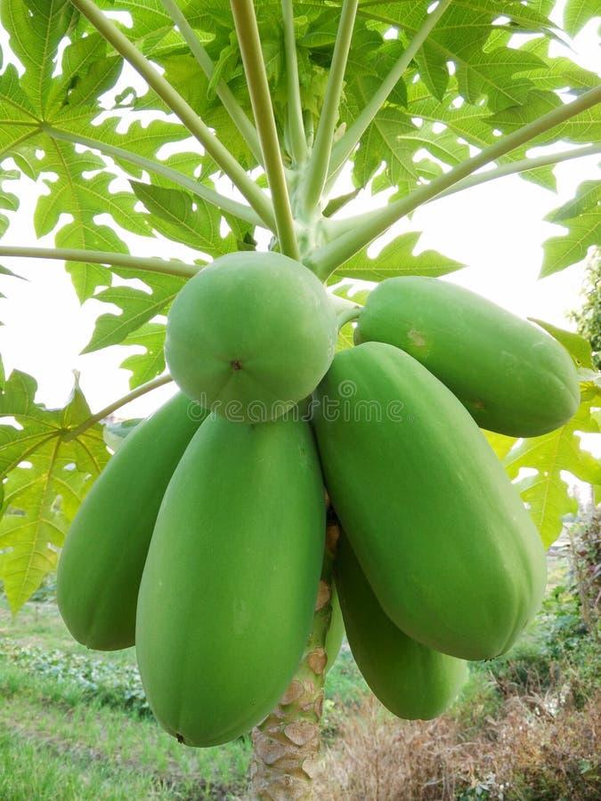 grön papaya royaltyfria bilder