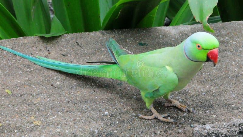 grön papegoja arkivfoto