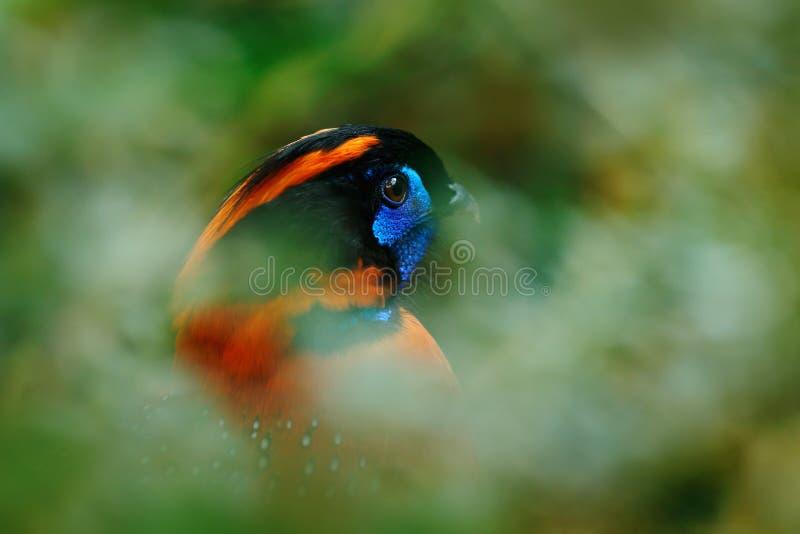 Grön papegoja, guling-chevronedparakiter, Brotogeris chiriri, fågel i naturträdlivsmiljön som äter frukt, Pantanal, Brasilien arkivfoto