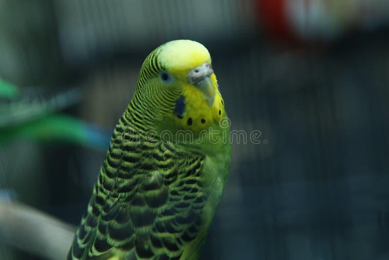 Grön papegoja i buren _ parakiter Den gröna krabba papegojan sitter i en bur Rosy Faced Lovebird papegoja i en bur Fåglar in royaltyfri foto