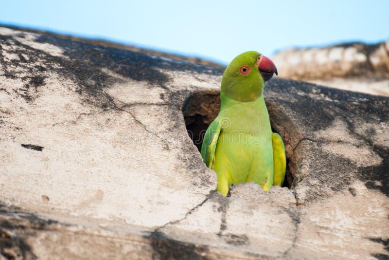 Grön papegoja i redet arkivbild