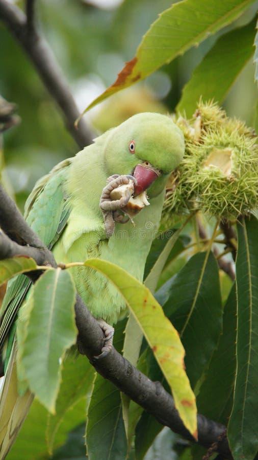 Grön papegoja som äter kastanjen i Kew trädgårdar i London royaltyfri fotografi