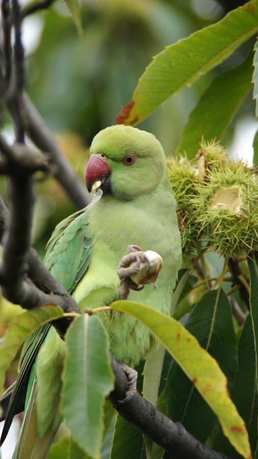 Grön papegoja som äter kastanjen i Kew trädgårdar i London arkivfoto