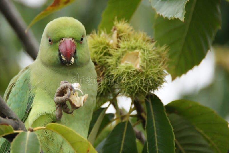 Grön papegoja som äter kastanjen i Kew trädgårdar i London royaltyfria foton
