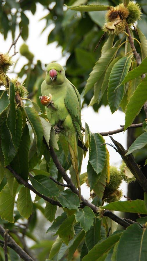 Grön papegoja som äter kastanjen i Kew trädgårdar i London fotografering för bildbyråer
