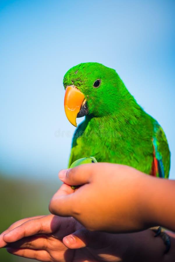 Grön papegojafågel royaltyfri bild