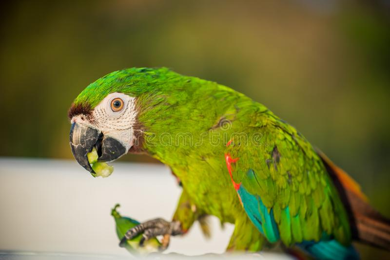 Grön papegojafågel royaltyfria bilder