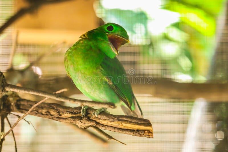 Grön parakiter på filialen fotografering för bildbyråer